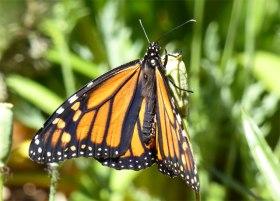 Brown Wanderer Butterfly