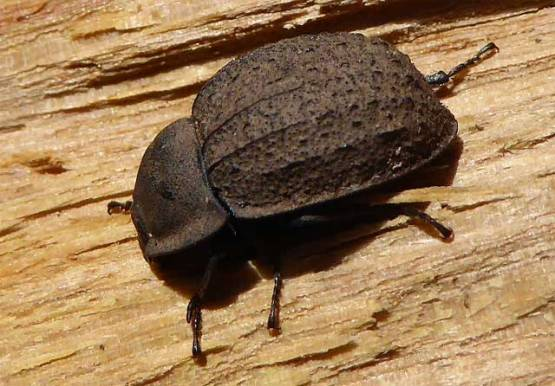 Rusty looking beetle
