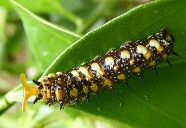 Defensive Citrus Swallowtail caterpillar