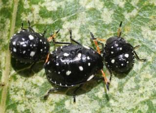 Pittosporum Bugs