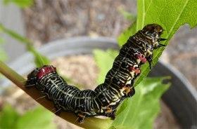 Vine Moth caterpillar