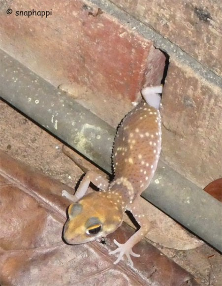 Barking Gecko emerging from its hiding place.