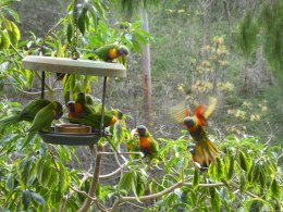 A Screech of Rainbow Lorikeets