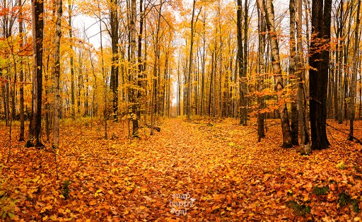 golden-fall-tree-panorama-10151198