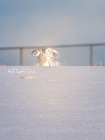 Snowy Owl crash landing in snow