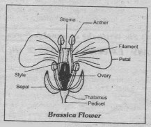 brassica flower