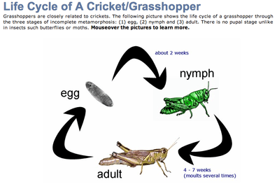 Grasshopper Life Cycle Diagram