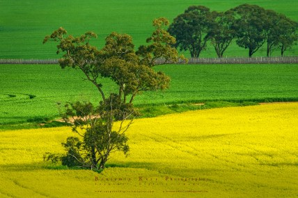 An afternoon looking for the right light in the Canola Fields of South Australia