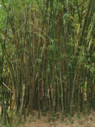 na_pali_hike_bamboo.jpg