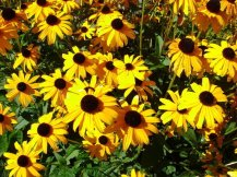 durango_sunflowers