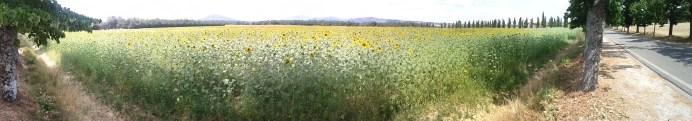 _panoramic_sunflowers