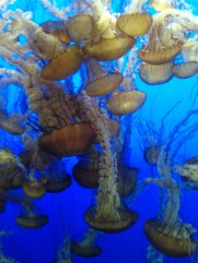 monterey_bay_aquarium_jellyfish