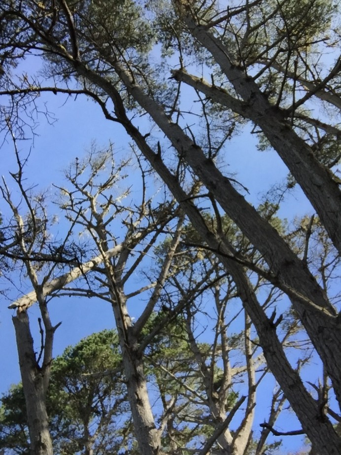 point_lobos_trees