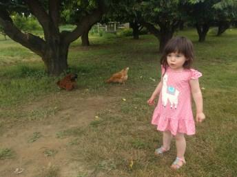 farm_chickens_1