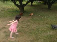 farm_chickens_hawking
