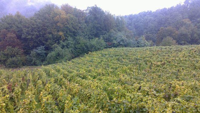 Vineyard in Hrvatsko Zagorje 2013