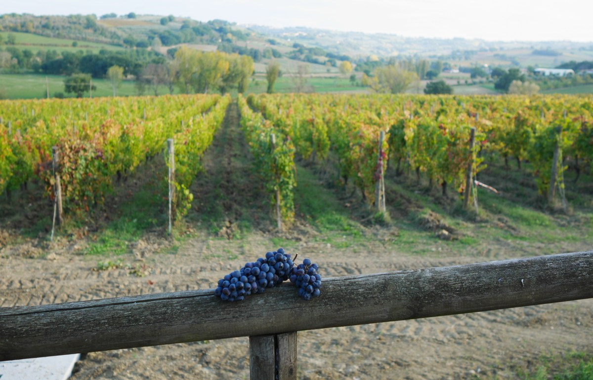 A bunch of Sagrantino on a fence overlooking the vineyards at the Adanti estate