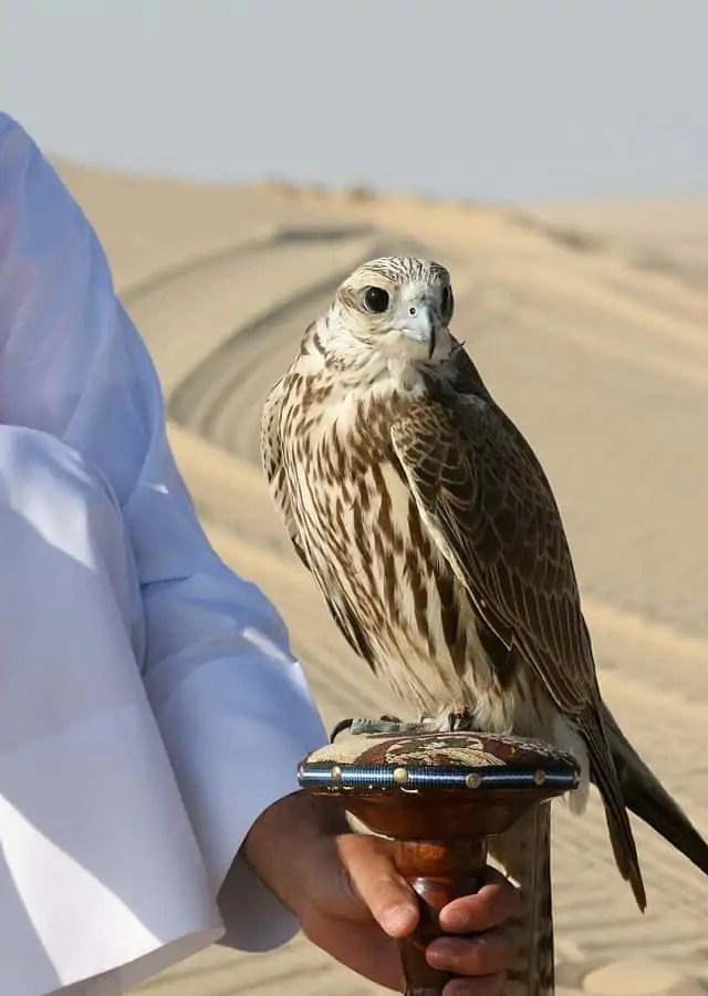 640px Falco cherrug Qatar Snazzy Trips