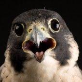 Sneaky Falcon Admin