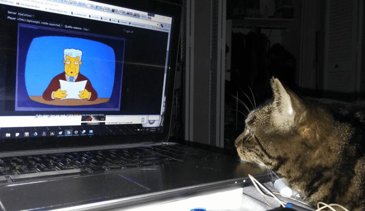 Dark tabby cat lays on a bed, with her chin on the corner of a laptop. The laptop is playing Kent Brockman, from the Simpsons, and she is watching it with interest.