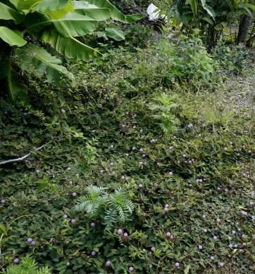 Mimosa, sånne planter som folder sammen bladene når man rører dem. Må nok betraktes som ugress på Cuba, mens vi har hjemme dyrker dem i vinduskarmen.
