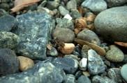 Jeg fant ingen snegler, men en liten frosk.