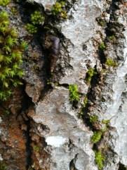 Glattkøllesnegl (Cochlodina laminata) på stammen av en osp.