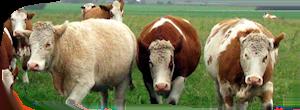 Mangfoldighed og variation – også gule, røde og hvide