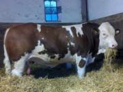 simmental herd bull