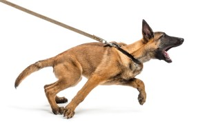 Leash Pulling Dog Shepherd