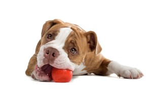 Dog laying down playing with ball