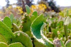 Cactus/Cacti/Nopales Milpa Alta Mexico
