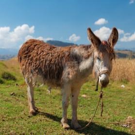 Donkey Llama Trekking in Huaypo Lagoon, Urubamba, Sacred Valley, Peru