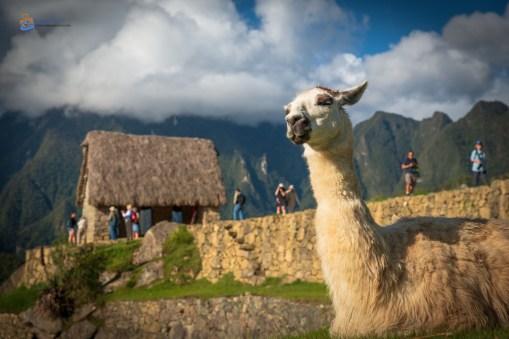 Machu Picchu Peru llama