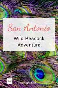 Things To Do In San Antonio: Wild Peacocks