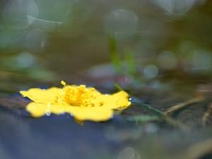 水に浮かぶ黄色い花