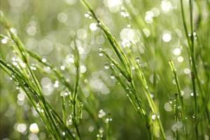 草の水滴3
