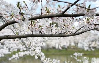【大船】谷戸池の桜は満開2020年4月1日~4月3日