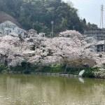 谷戸池の桜20210330