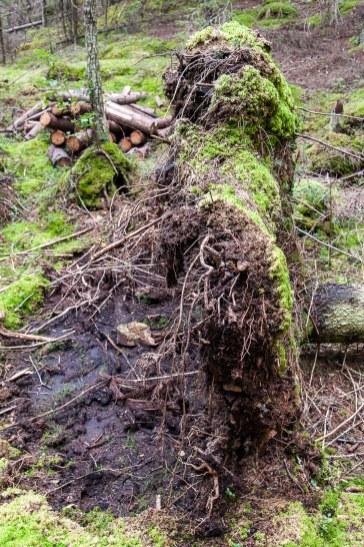 entwurzelter Baum, Hiking-Trail Sammalistonpolku in Finnland