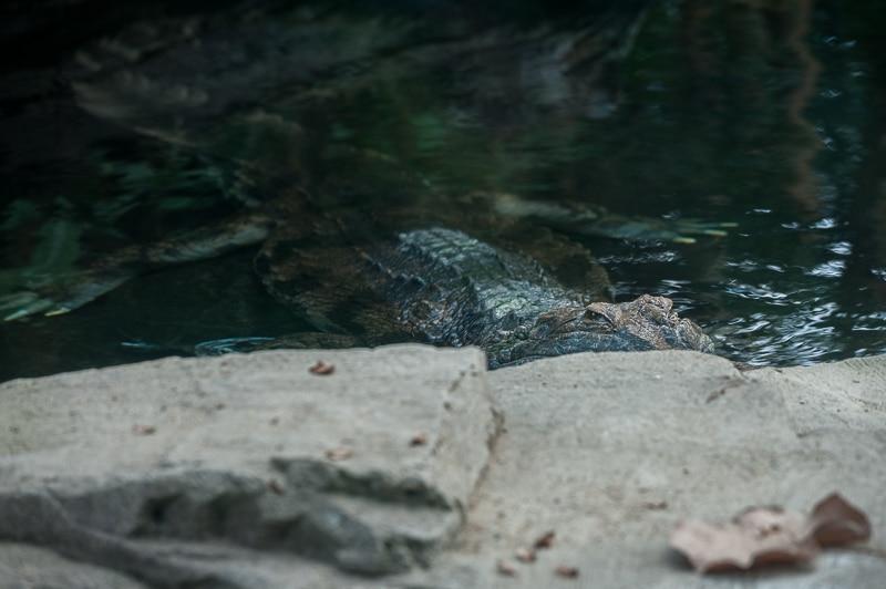 Krokodil im Leipziger Zoo
