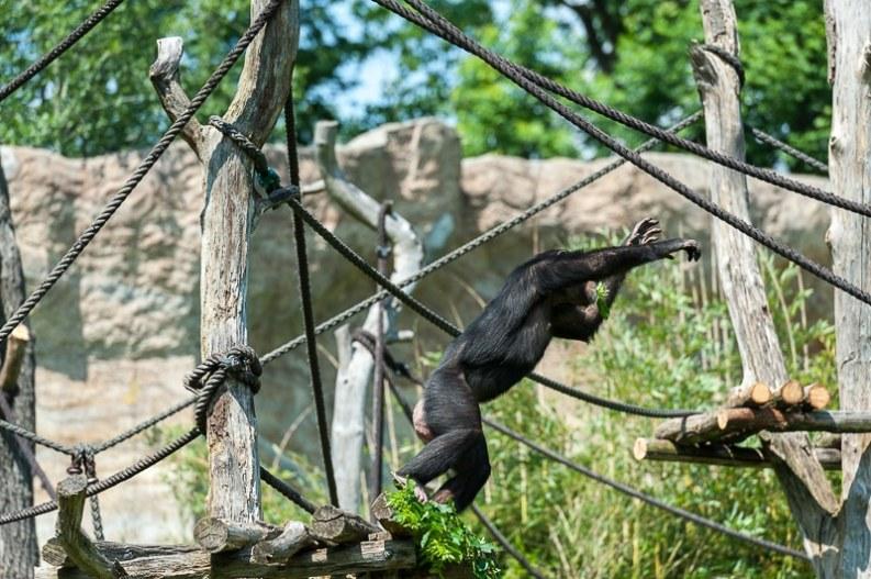 Bonobo im Außengehege