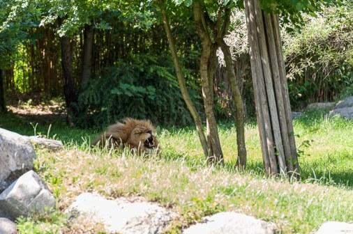 Löwe in der Makasi Simba