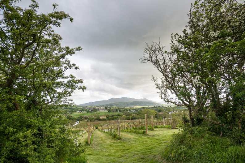 Weinberg mit Blick auf den Snowdonia National Park