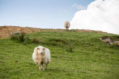 Schafe rund um Hedd Wyns Haus