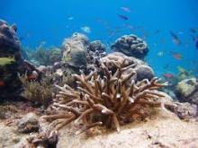sharp coral