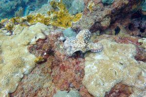 Octopus Tobago