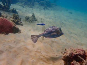 cow fish and wrasse, Tobago