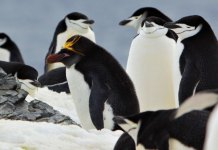 penguins are a common sight when you ski Antarctica