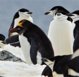 penguins are a common sight when you ski Antarctica